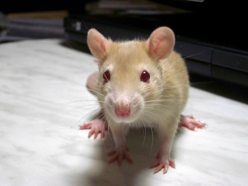 моя крысюлечка