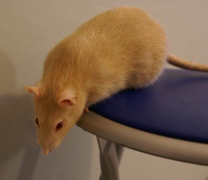 Крысенька